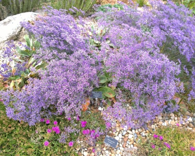 Hyde Hall RHS, Limonium platyphyllum 'Violetta'