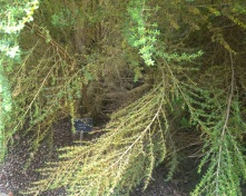 Hyde Hall RHS, Cassinia fulvida