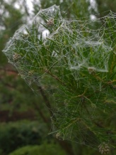 Grevillea rosmarinifolia 2