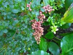 RHS Wisley - Maianthemum racemosum