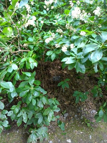 RHS Wisley - Clethra alnifolia 'Hummingbird'