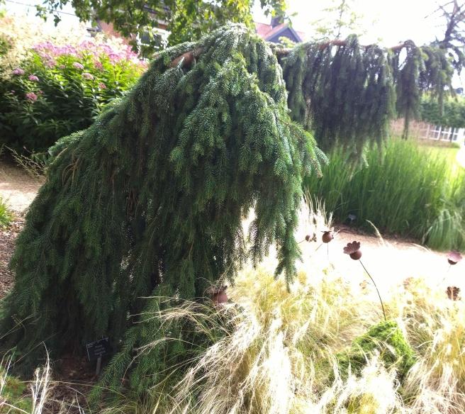 RHS Wisley - Picea omorika 'Pendula'