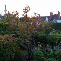 I noticed the amelanchier starting to turn orange...