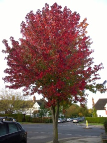Liquidambar the Beautiful