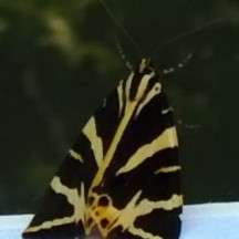 Jersey Tiger Moth at kitchen window