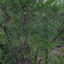Grevillea rosmarinifolia (1)