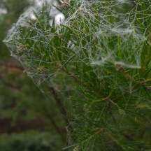 Grevillea rosmarinifolia (2)