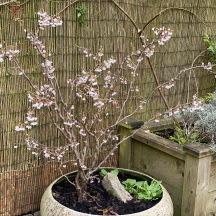 20210317 Prunus incisa Kojo No Maii