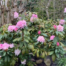 20210317 Rhododendron Christmas Cheer