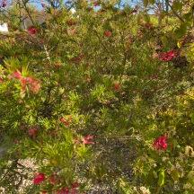 20210422_17_18 grevillea rosmarinifolia