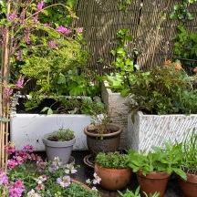 20210518_ Rudbeckia_Geranium raven new pot-Salvia_Astilbe_Geum new pot