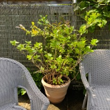 20210518_Viburnum_Hydrangea new pot